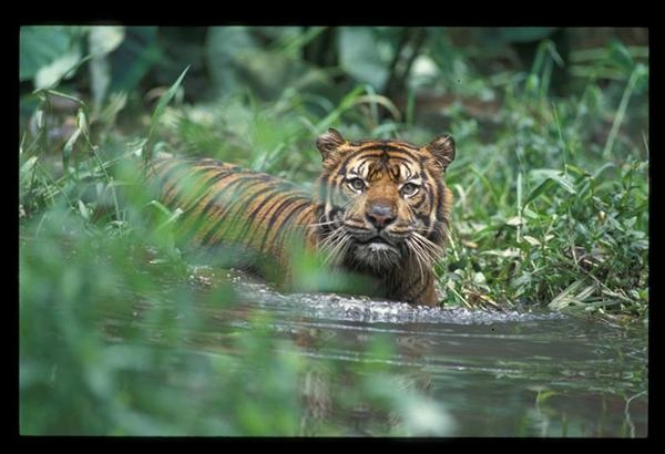 The Sumatran tiger is almost extinct   … GREENPEACE