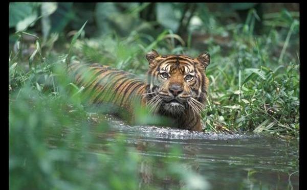 Help Greenpeace protect Sumatran tigers    …Philip Radford, Greenpeace