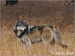 wolflobo