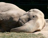 Cameroonelephant