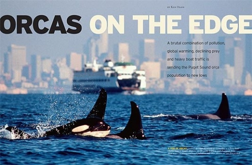 orca whales facing high levels of pollution and endangerment
